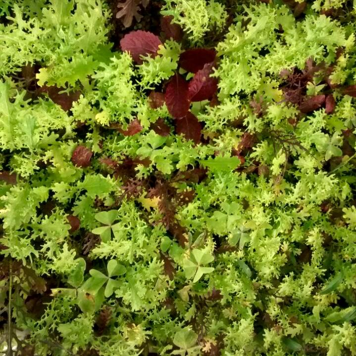 Micro Greens Confetti Lettuce - Food Basket Farm Jamaica